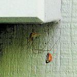 Spider catches ladybug.