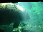 Manatees of Homosassa Florida.